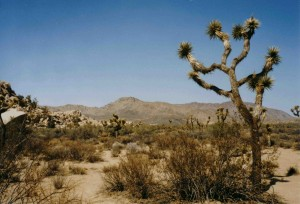 Joshua Tree Landschaft
